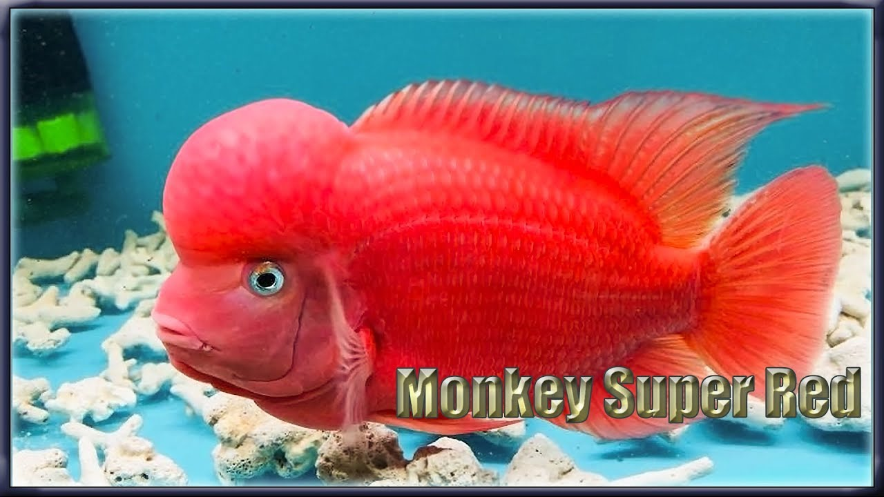 Super red monkey
