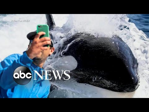 Orca Gets Up Close And Personal With Fishermen L ABC News