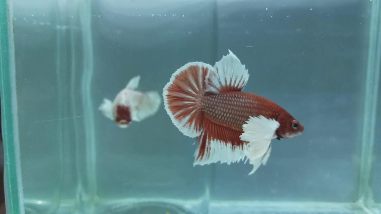 Betta Fish Dumbo Red part 1