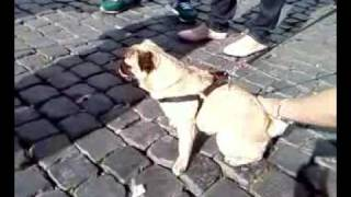 Cavalier King Charles Spaniel Luna Vs Pug