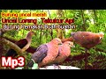 Suara Pikat Burung Uncal Merah Tekukur Merah Tekukur Api  Mp3 - Mp4 Download