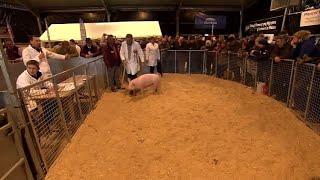 Arwerthiant Pencampwyr y Moch | Pig Championship Auction