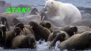 Niedźwiedź polarny atakuje zgraję morsów!