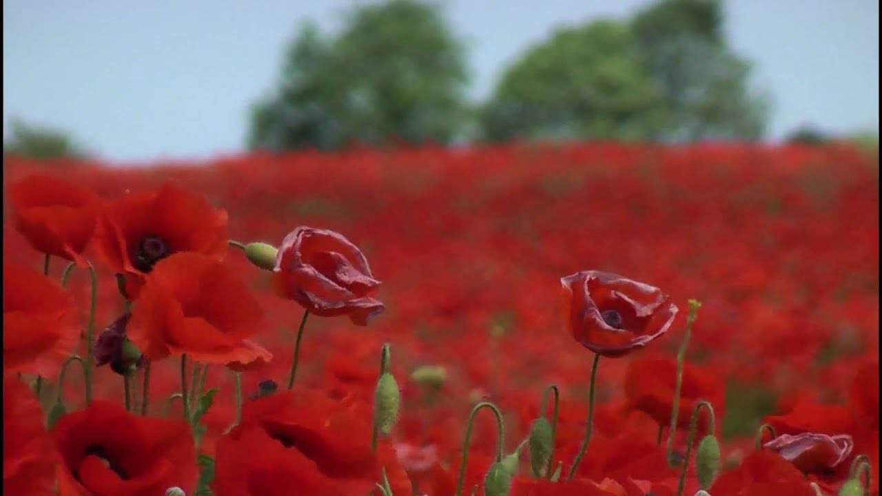 poppies in the wind youtube