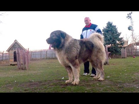 BIGGEST DOGS in the world are being fed this way  !