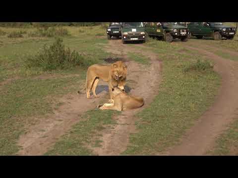 Lions Having Sex 9/2/2017 Masai Mara