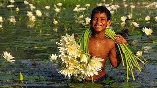 видео ЛОТОС цветы лотоса Фото Растение лотос Белый лотос