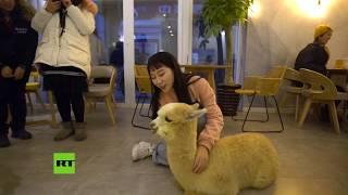 Dos alpacas acaparan toda la atención de los clientes de un restaurante chino