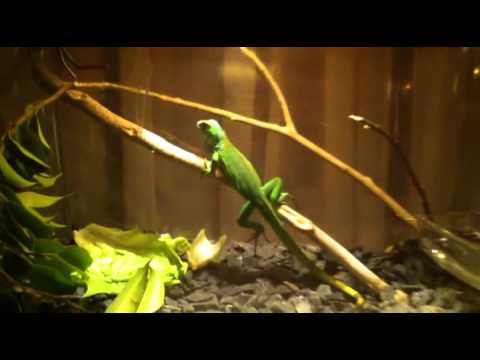 how to build an iguana cage