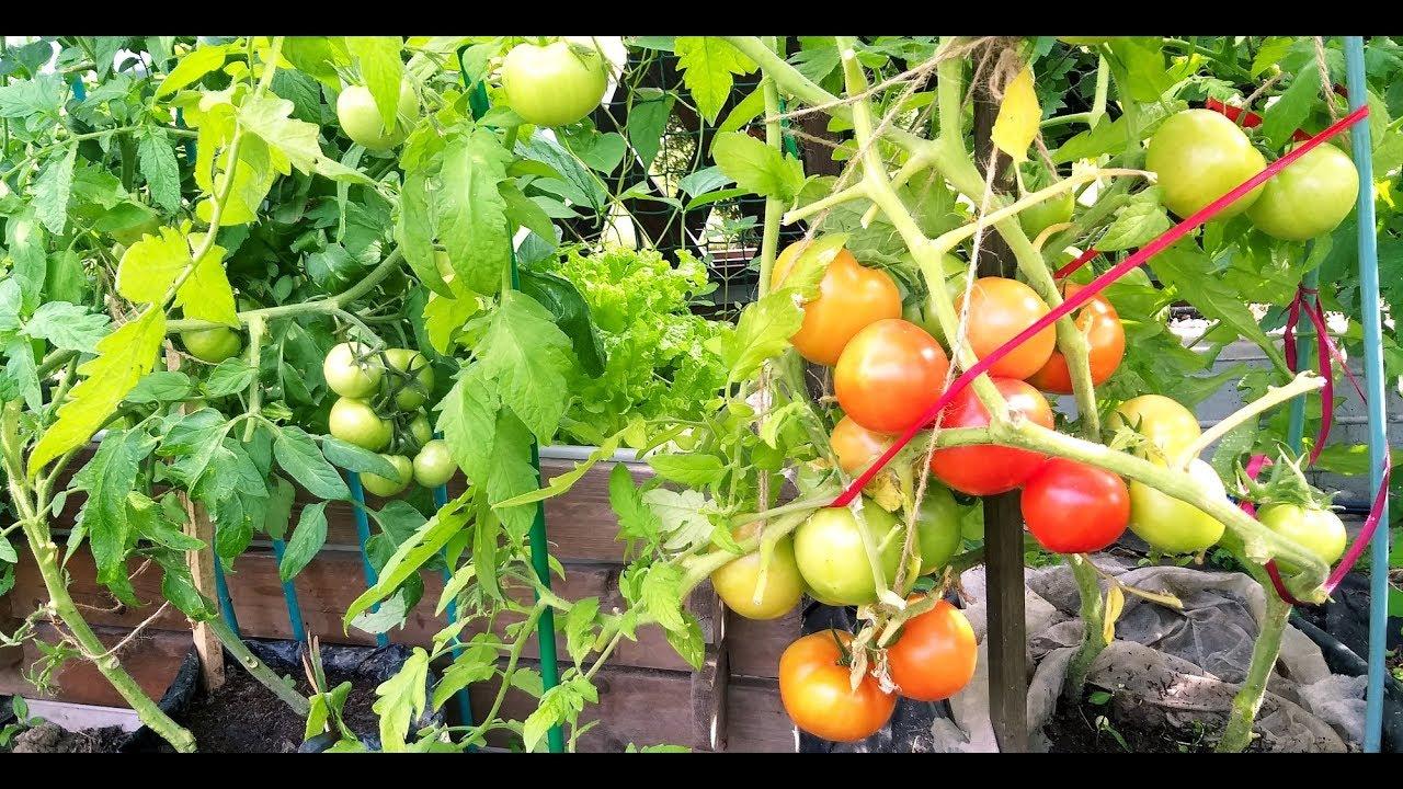 Катя, Анюта и Сладкая девочка - томаты для майского урожая порадовали