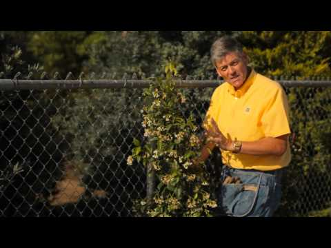 How to Train Jasmine on a Wire Fence : Garden Savvy