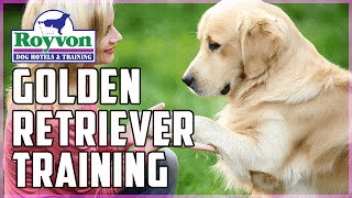 Golden Retriever Residential Dog Training Demonstration
