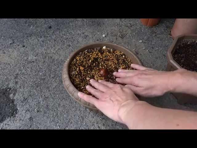 アボガドの種の鉢植え と 鉢植えから100日後