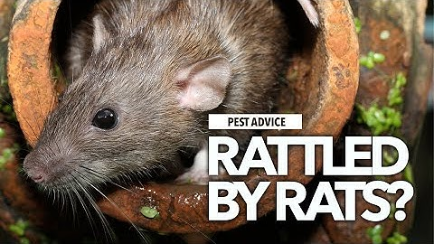 A-Z of Pests: Pest Advice for Rats