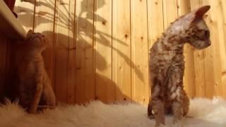 Солнечные котишки Уральский рекс