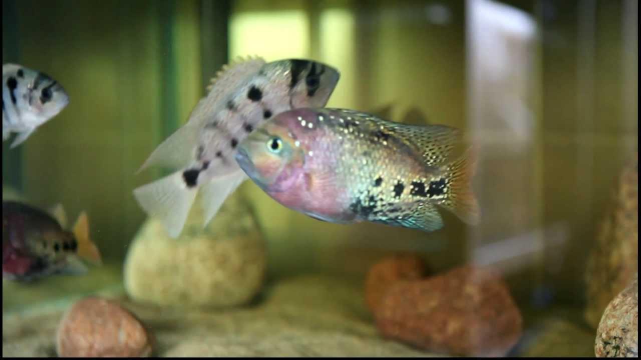 Vieja Argentea Vieja Regani Paratheraps Synspilus Blue Spotted