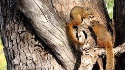 """Tree Squirrel Couple building """"house""""."""