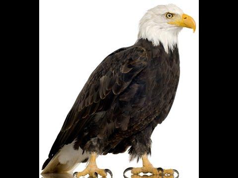 Bird Name- Eagle