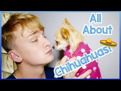 steven-and-ellie-the-chihuahua-introduction!-5-chihuahua-dog-breed-facts!-chihuahua-personality!