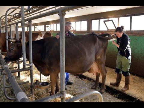 Une journée avec une inséminatrice bovine