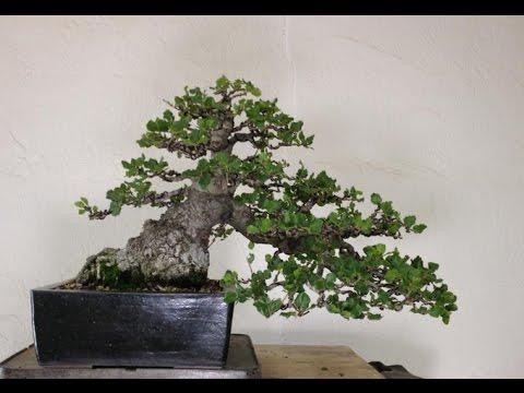 australian silver oak grevillea robusta bonsai tree youtube. Black Bedroom Furniture Sets. Home Design Ideas
