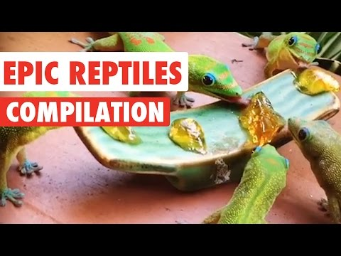 Epic Reptiles Video Compilation 2017