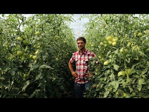 Лучший гибрид томата в моем тепличном хозяйстве для выращивания на продажу