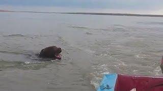 Медведь в Якутии плывет через реку. Нападает на лодку с рыбаками.