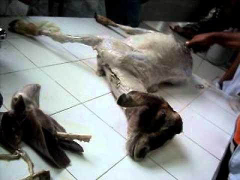 ANATOMIA ANIMAL - CAPRINO PULMONES Y CORAZON - YouTube