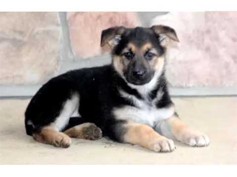 German Shepherd Puppies Picture Collection And Ideas