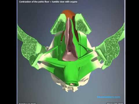 Contracción de suelo pélvico, animación en 3D - YouTube