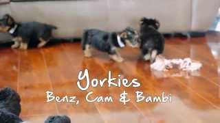 Puppies For Sale - Benz / Bambi / Cam - Yorkies