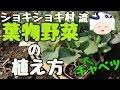 【家庭菜園】キャベツの植え方【ショキショキ村農業日記】