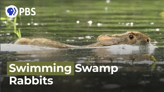Swimming Rabbits Caught on Camera