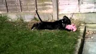 Staffordshire Bull Terrier The Nanny Dog