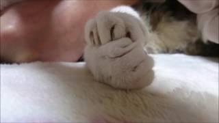 リキちゃんの白いもふもふおててのアップ☆彡 昨日の動画 目の前の煮干が取れなくてイライラMAX飛び出す猫! https://www.youtube.com/watch?v=8PCmEyPFPMQ...