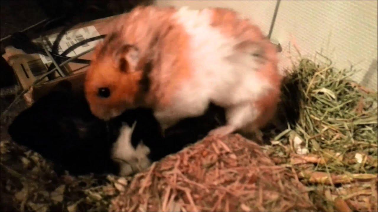 Hamster Sex Com