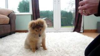 Danny Dog - My Very Cute Sheltie Puppy Doing His First Tricks