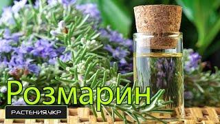 видео Розмарин - выращивание на подоконнике и уход в домашних условиях