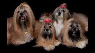 Всё о породах! Лхаса апсо. Ши-тцу. Тибетский мастифф. Лающая собака похожая на льва.