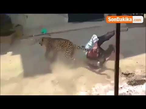 Şehre İnen Leopar Çevredeki İnsanlara Saldırdı