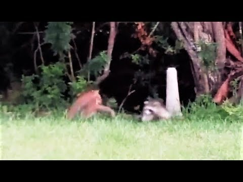 Una madre mapache se enfrentó a un gato montés y defendió a sus crías
