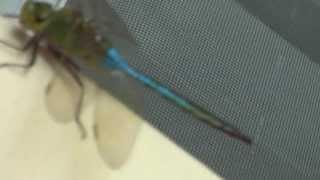 Riesen Libelle