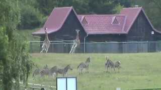 Biegające śmieszne żyrafy