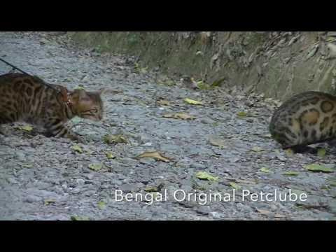 Gatos Gigantes Maine Coon Ragdoll Big Bengal Criadores Ecologicamente Correta