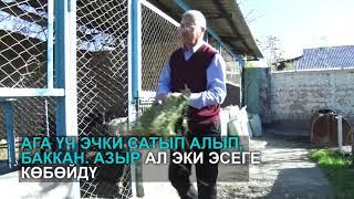 Базаркоргондук Тешебаев эчки багып киреше табуунун жолдорун айтып берди
