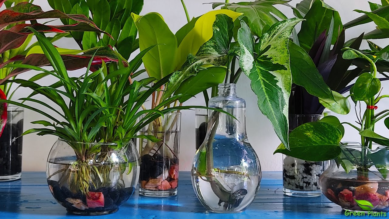 10 Amazing Indoor Plants That Grow Only In Water without much  maintenance-Water Garden//GREEN PLANTS - YouTube