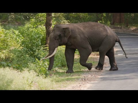 WILD ELEPHANT ON THE ROAD - Mysore Ooty Road @ Bandipur Forest Region