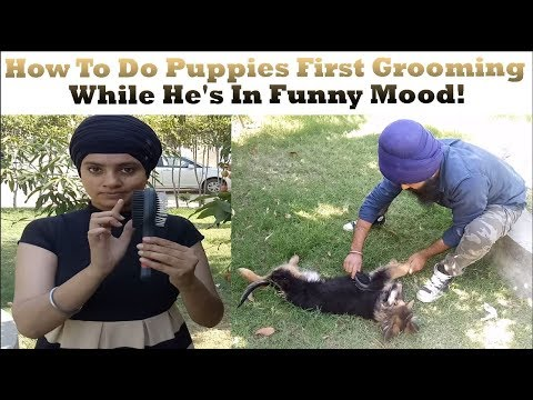 How To Do Puppies First Grooming While He's In Funny Mood!