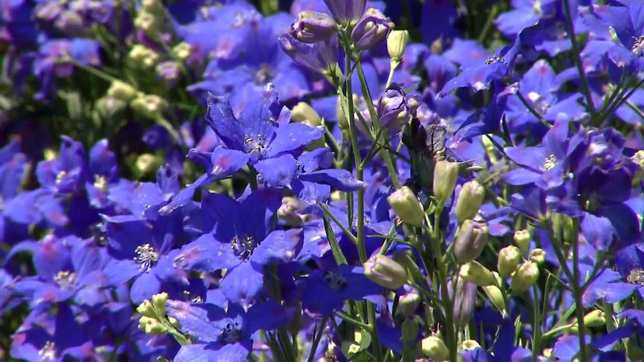 Diamonds Blue Delphinium True Blue Super Plant Youtube
